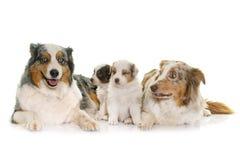 Volwassene en puppy Australische herder royalty-vrije stock fotografie