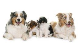 Volwassene en puppy Australische herder stock fotografie