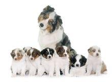 Volwassene en puppy Australische herder stock afbeelding