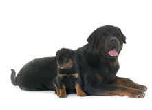 Volwassene en puppy rottweiler Royalty-vrije Stock Foto's