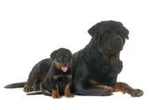 Volwassene en puppy rottweiler Stock Afbeeldingen