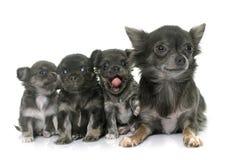 Volwassene en puppychihuahua royalty-vrije stock foto