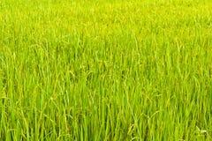 Vom Anfang der Reiskörner lizenzfreies stockbild