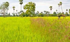 Vom Anfang der Reiskörner lizenzfreie stockfotos