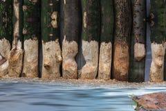 Vom Biber zerfressene Baumstämme lizenzfreie stockbilder