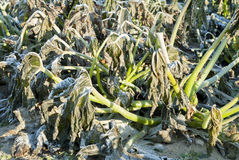 Vom Frost beschädigte Zucchini-Anlage. Stockfotografie