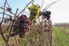 Vom späten Wein im Weinberg Stockfotos