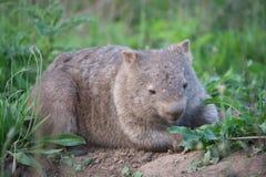 Vombat - kängurudal Australien Royaltyfri Fotografi
