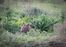 Vombat - kängurudal Australien Royaltyfria Foton