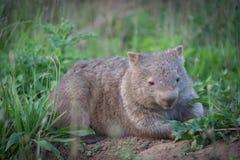Vombat - kängurudal Australien Royaltyfri Foto