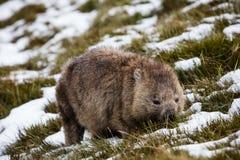Vombat som söker efter föda i snön på vaggabergnationalparken, Tasmanien arkivfoto