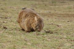 Vombato marsupiale indigeno selvaggio che mangia erba verde immagine stock