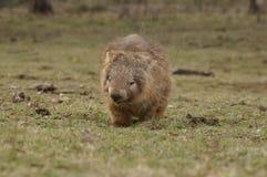 Vombato marsupiale indigeno selvaggio che mangia erba verde immagini stock