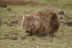 Vombato marsupiale indigeno selvaggio che mangia erba verde fotografia stock