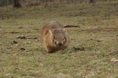 Vombato marsupiale indigeno selvaggio che mangia erba verde fotografie stock libere da diritti