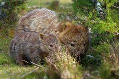 Vombatus-ursinus - allgemeines Wombat stockbilder
