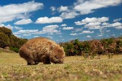 Vombatus-ursinus - allgemeines Wombat lizenzfreies stockbild