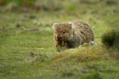 Vombatus-ursinus - allgemeines Wombat stockfotografie