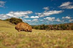 Vombatus-ursinus - allgemeines Wombat in der tasmanischen Landschaft stockbilder
