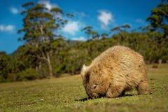 Vombatus-ursinus - allgemeines Wombat in der tasmanischen Landschaft stockfotos