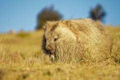 Vombatus-ursinus - allgemeines Wombat in der tasmanischen Landschaft, Gras am Abend auf der Insel nahe Tasmanien essend lizenzfreies stockfoto