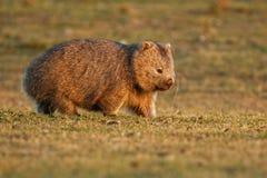 Vombatus-ursinus - allgemeines Wombat in der tasmanischen Landschaft, Gras am Abend auf der Insel nahe Tasmanien essend stockfotografie