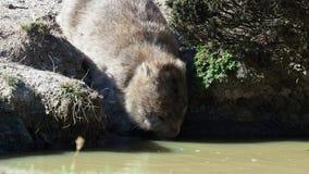Vombatus-ursinus - allgemeines Wombat in der tasmanischen Landschaft, trinkende Pfütze auf der Insel nahe Tasmanien stock footage