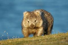 Free Vombatus Ursinus - Common Wombat In The Tasmanian Scenery, Eating Grass In The Evening On The Island Near Tasmania Stock Image - 120487521