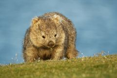 Vombatus ursinus - Common Wombat in the Tasmanian scenery, eating grass in the evening on the island near Tasmania.  royalty free stock image