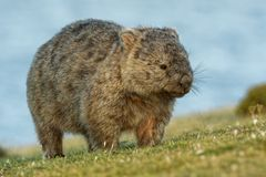 Vombatus ursinus - Common Wombat in the Tasmanian scenery, eating grass in the evening on the island near Tasmania.  stock photography