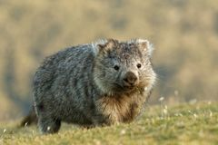 Vombatus ursinus - Common Wombat in the Tasmanian scenery, eating grass in the evening on the island near Tasmania.  royalty free stock photography