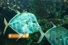 Vomer del Selene de los pescados a la baja fotografía de archivo