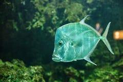 Vomer del Selene de los pescados a la baja detrás del vidrio polvoriento en el océano fotos de archivo libres de regalías