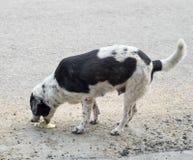 Vomito malato dell'animale domestico del cane immagine stock libera da diritti