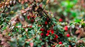 Vomitoria vert juteux d'Ilex avec les baies rouges images libres de droits
