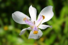 Von den Azoren weiße Orchidee auf einem grünen unscharfen Hintergrund Stockbilder