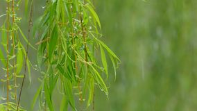 Von den grünen Blättern die Wassernasen vom Nassschnee stock video footage