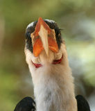 Von der Decken's hornbill Royalty Free Stock Photography