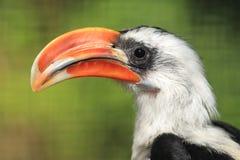 Von der Decken hornbill. The detail of male of Von der Decken's hornbill Royalty Free Stock Photo
