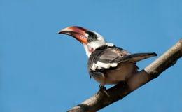 Von Der Decken's Hornbill Stock Image