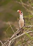 Von der Decken's Hornbill. A male Von der Decken's Hornbill (Tockus deckeni) sits on a tree at Lake Nakuru National Park Royalty Free Stock Photo