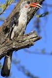 Von der Decken ` s Hornbill Στοκ Φωτογραφία