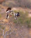 Von der Decken´s Hornbill courtship. A male Von der Decken´s Hornbill (Tockus deckeni) exhibits it´s courtship dance in front of a participative female Royalty Free Stock Images