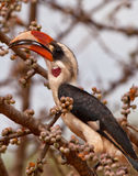 Von der Decken´s Hornbill eating fruits. A male Von der Decken´s Hornbill (Tockus deckeni) feasts on some fruits during the kenyan dry season in april Royalty Free Stock Image