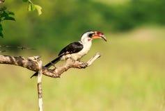 A Von der Decken`s hornbill male. Von der Decken`s hornbill is a hornbill found in East Africa, especially to the east of the East African Rift, from Ethiopia Stock Image
