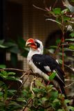 Von der Decken`s hornbill. Male Von der Decken`s hornbill Tockus deckeni on a branch. Antwerp Zoo, Belgium Royalty Free Stock Photography