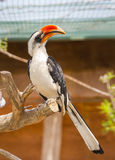 Von der Decken's Hornbill (Tockus deckeni). A male Von der Decken's Hornbill (Tockus deckeni), found in East Africa, especially to the east of the East African Stock Images