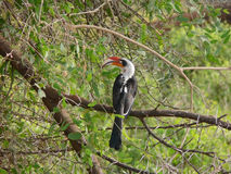 Von der Decken's hornbill (Tockus deckeni) resting on acacia tre. African bird Von der Decken's hornbill (Tockus deckeni). A male with long curved red bill Royalty Free Stock Photo