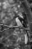 Von Der Decken`s Hornbill. In the wild the female nests in holes in trees. She seals the nest closed to protect her and her chicks from predators. When the Royalty Free Stock Image