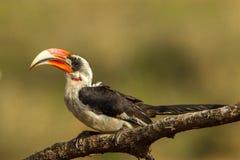 Von Der Deckens Hornbill Stockbilder